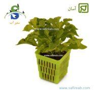 آلترنانترا بتزیکیانا گرین Alternanthera Bettzickiana Green-min