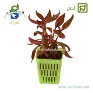 Alternanthera Lilacina-min