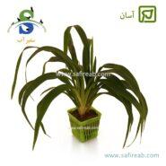 Chlorophytum Bichetii Green