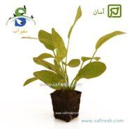 Echinodorus Ozelot Green-min