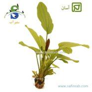 Echinodorus Rose-min
