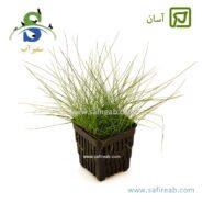 Eloocharis Hairgrass