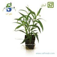 Hygrophila Salicifolia Narrow Leaf