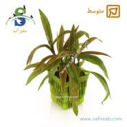 Hygrophila Salicifolia Rubra