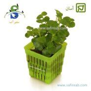 Lysimachia Nummularia green
