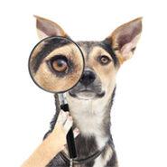 بهداشت گوش و چشم سگ