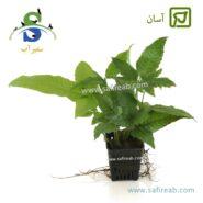 Microsorium balbitis Asiatica