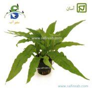 Microsoryum broad leaf
