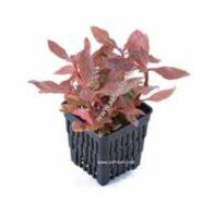 گیاهان آکواریومی قرمز